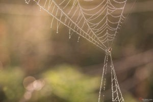 Poranna rosa na pajęczynie - Galeria Fotografii