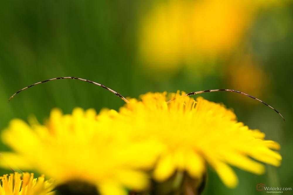 Fotografia przyrodnicza Tycz Cieśla - Timberman Beetle